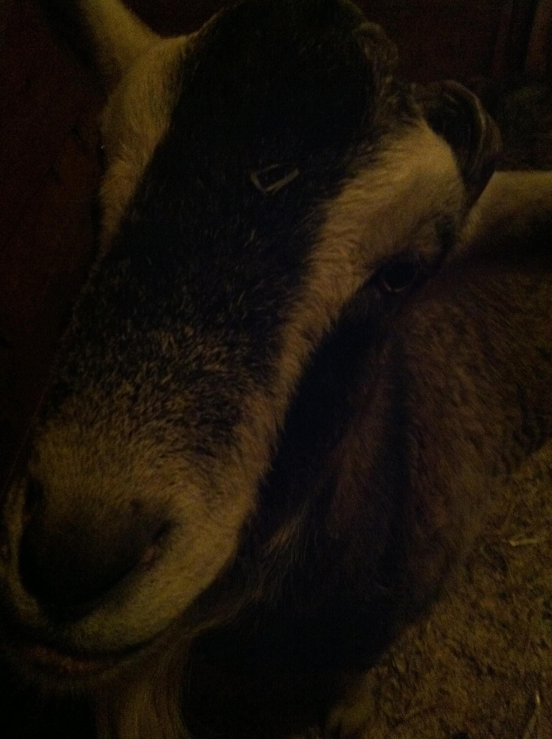 gulliver-the-goat