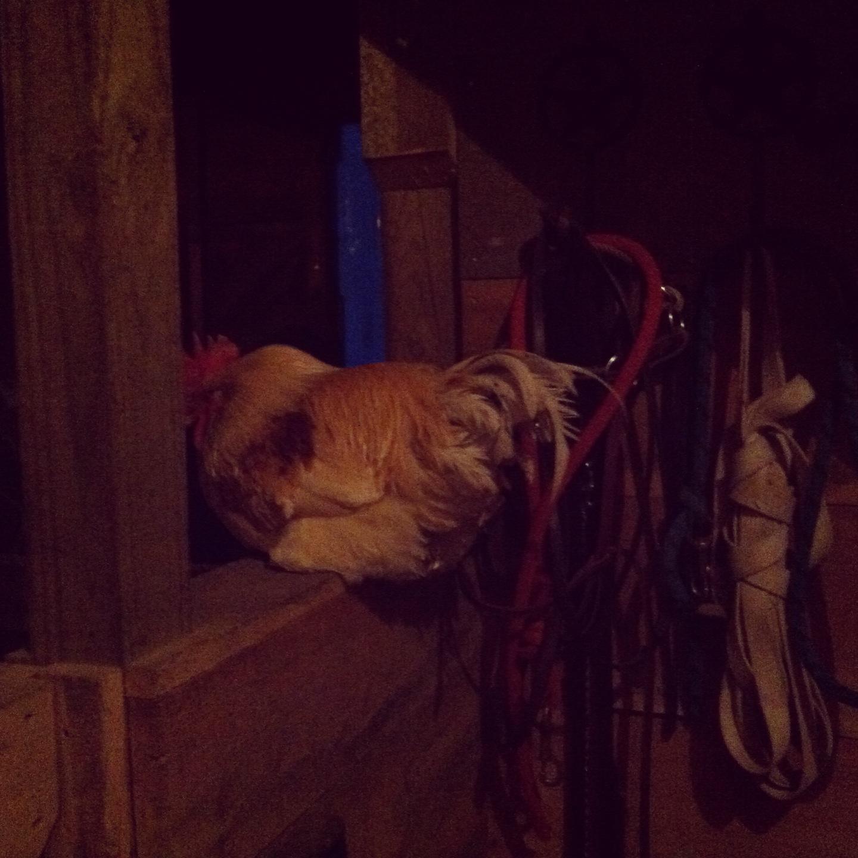 rooster-inside-barn