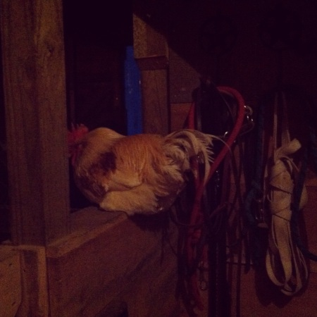 rooster-inside-barn