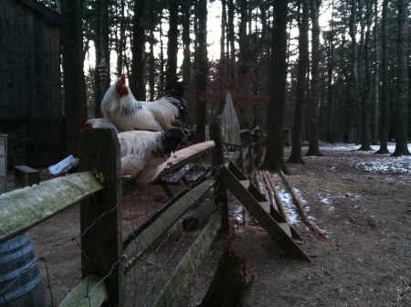 Roosters-hanging-out-on-a-fence