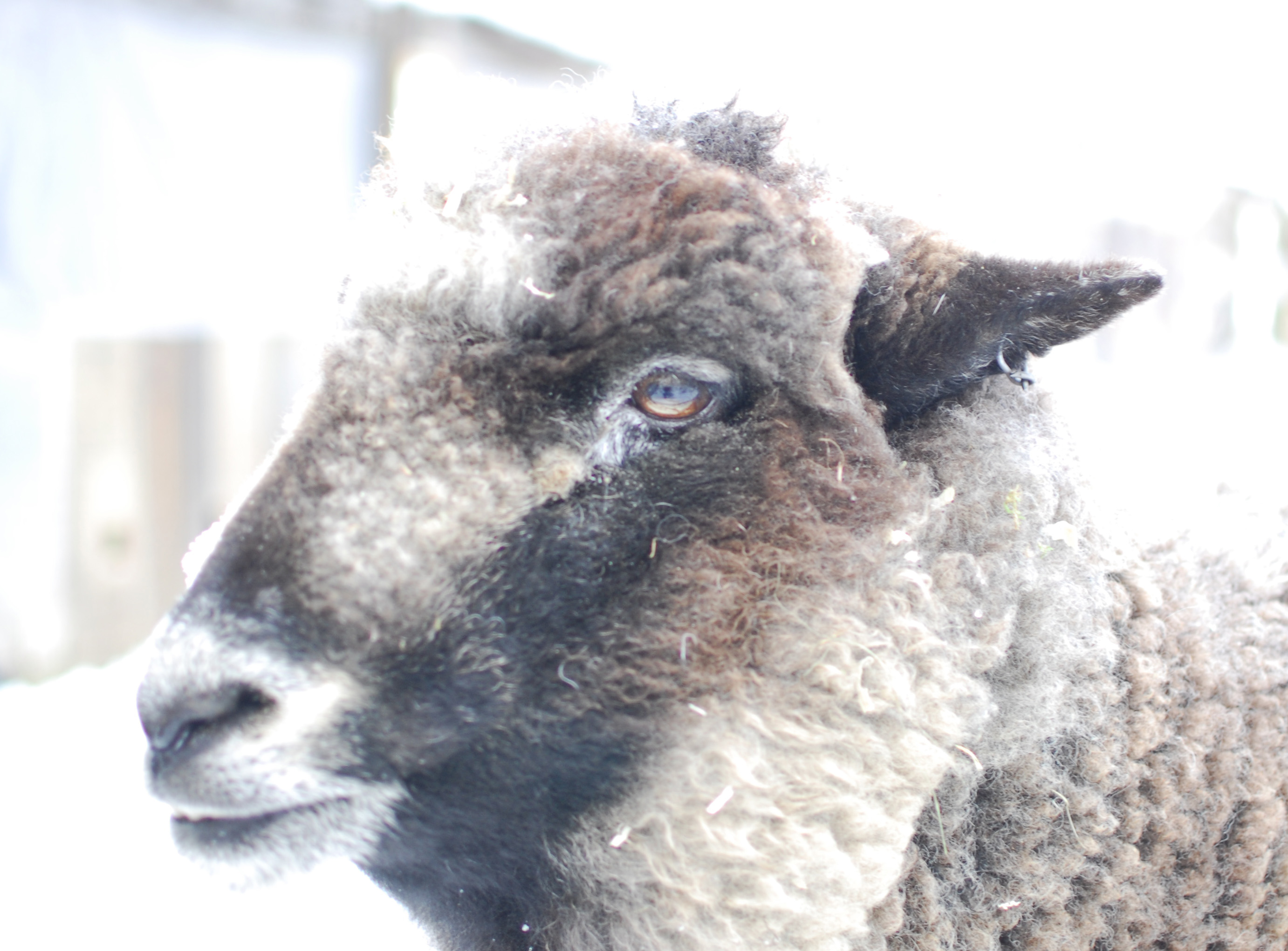 athena-the-sheep-beautiful-face