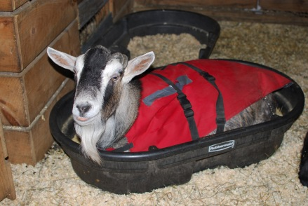 Gilliver-the-goat-sits-in-a-trough
