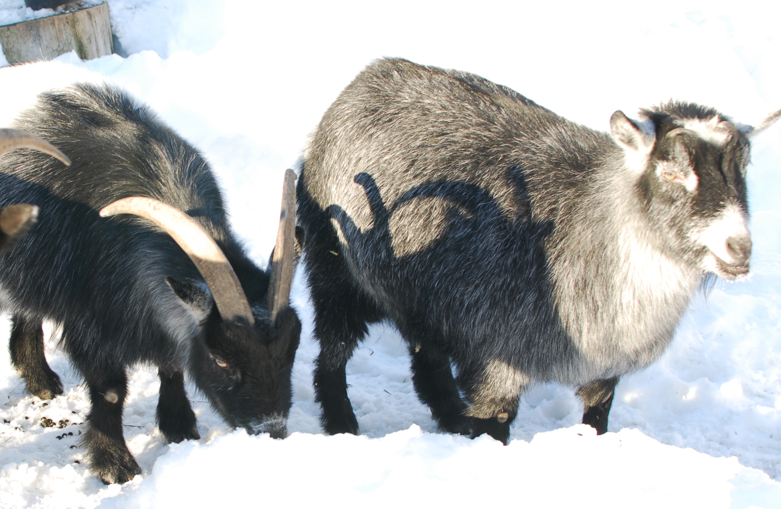 goats-eating-snow