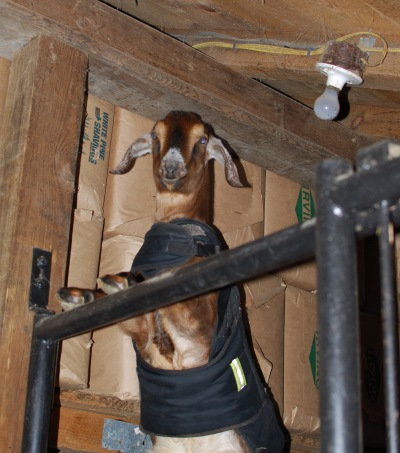 levi-the-goat-explores-the-rafters