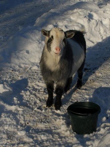 liam-the-goat-smiles