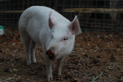 willow-the-inquisitive-pig