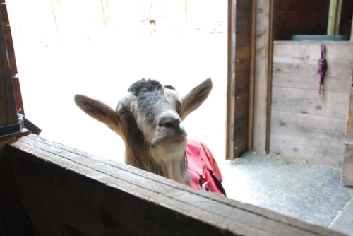 Gully-the-goat-thinks-about-getting-in