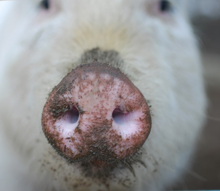 Willow-the-pigs-adorable-snout