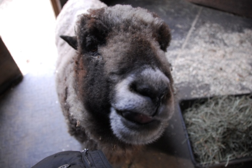 athena-the-sheep-closeup