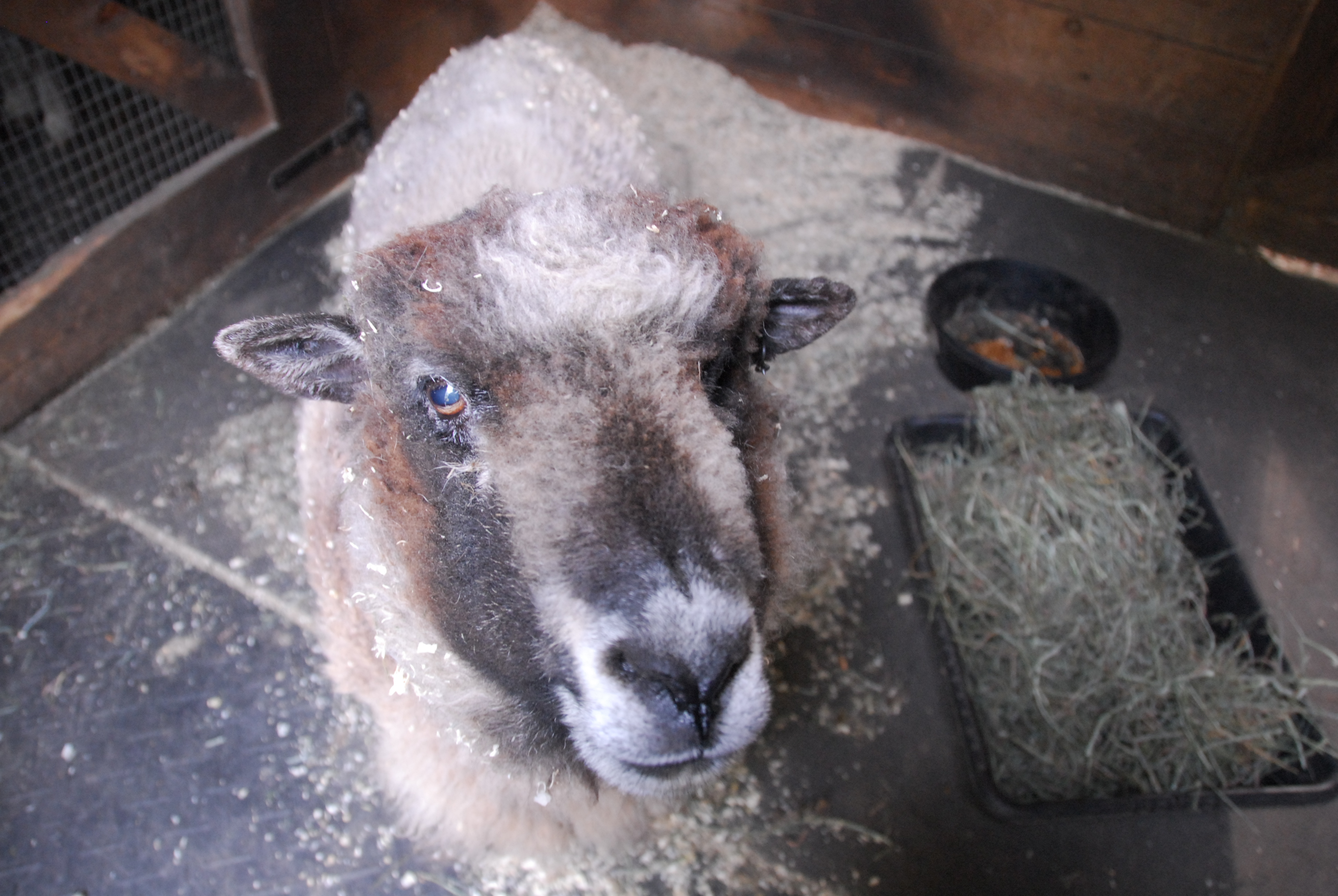 athena-the-sheep-pretty-girl