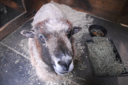 athena-the-sheep-pretty-girl