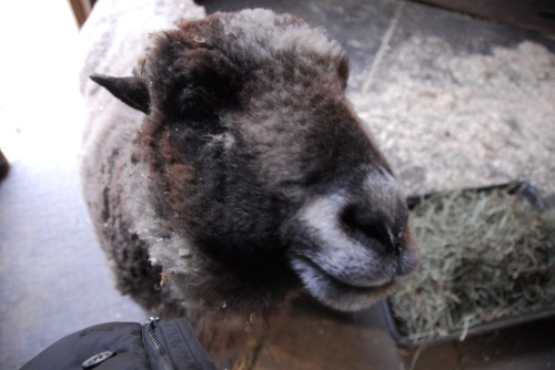 athena-the-sheep-pretty-smile