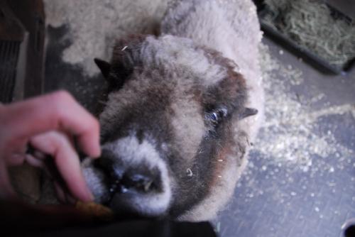 athena-the-sheep-takes-a-treat
