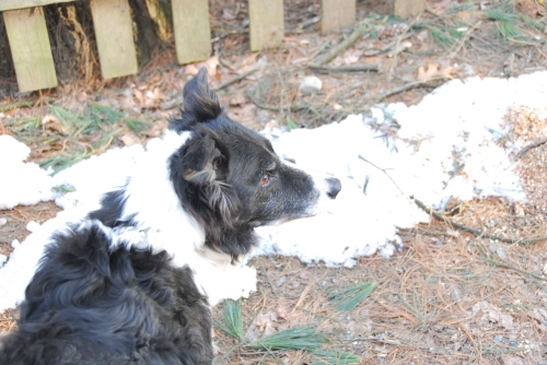 Pandy-pretty-border-collie