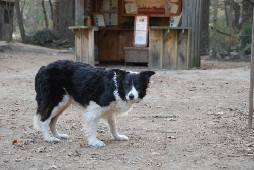 Pandy-the-beautiful-border-collie