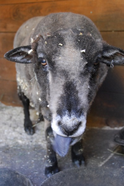 Athena_Sheep_Sticking_Tongue_Out_Winslow_Farm_Mindingtheminis