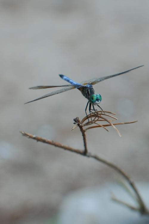 Dragonfly_Mindingtheminis