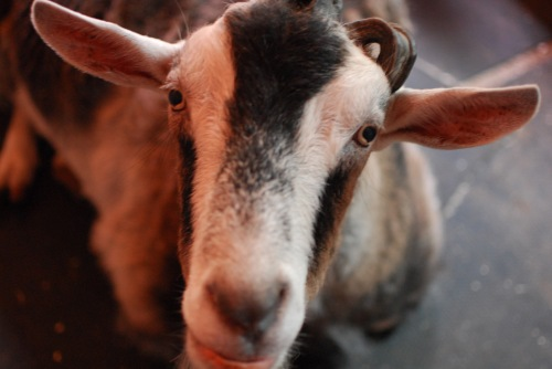 Gully_Goat_Winslow_Farm_Mindingtheminis