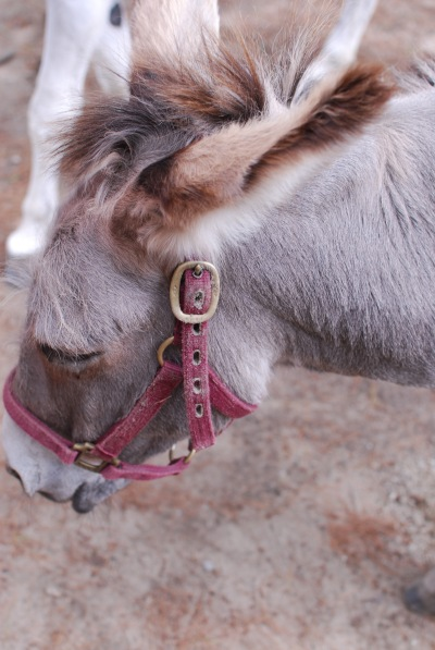 Jezebel_Donkey_Winslow_Farm_Mindingtheminis