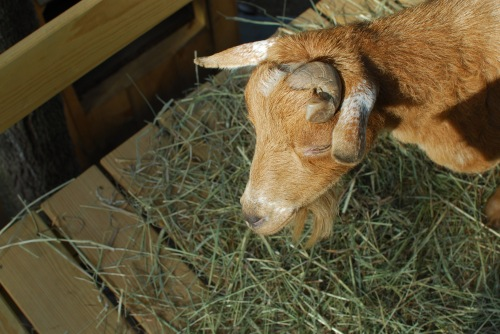 Mervin_Dwarf_Goat_Structure_Winslow_Farm_Mindingtheminis