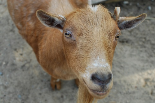 Mervin_Dwarf_Goat_Winslow_Farm_Mindingtheminis