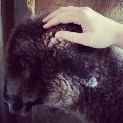 Petting_Athena_Sheep_Winslow_Farm_MindingtheMinis